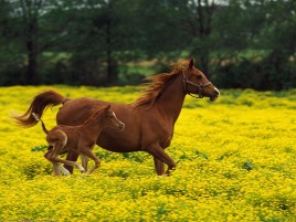 Horses Running Flower Field wallpapers and stock photos