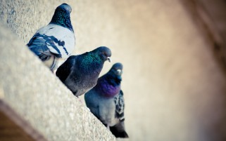 Pigeons on a Ledge wallpapers and stock photos