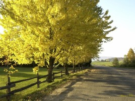 Yellow Autumn Tree & Big Road wallpapers and stock photos