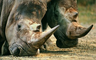 Rhinos in the Wild wallpapers and stock photos