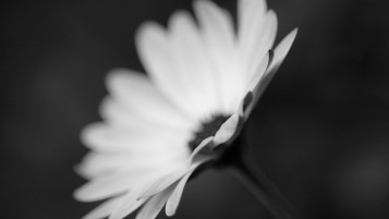 Flower Monochrome Macro wallpapers and stock photos