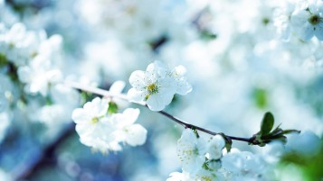 Beautiful Blossoms wallpapers and stock photos