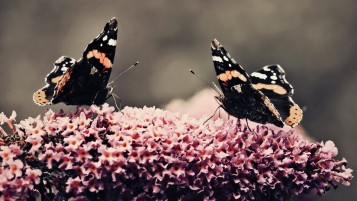 Butterflies on Flowers wallpapers and stock photos