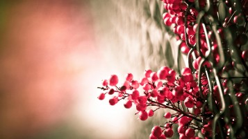 Red Berries Macro wallpapers and stock photos