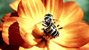 Bees on Yellow FLower wallpapers and stock photos