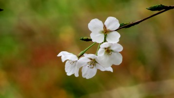white cherry blossoms wallpapers and stock photos