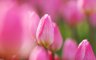 Pink Tulips wallpapers and stock photos