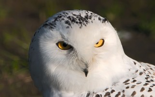 White Owl wallpapers and stock photos