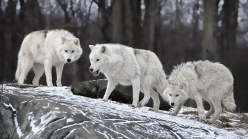 Lobos blancos wallpapers and stock photos