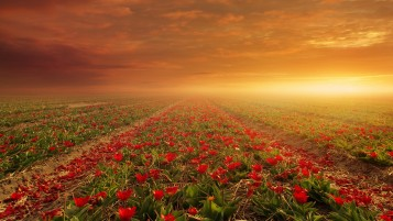 Red Flower Fields & Sun wallpapers and stock photos