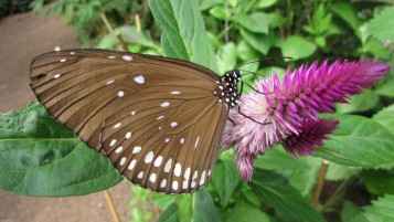 brown butterfly wallpapers and stock photos