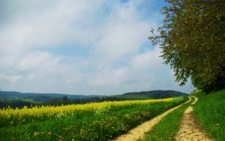 Rape Field Path & Trees wallpapers and stock photos