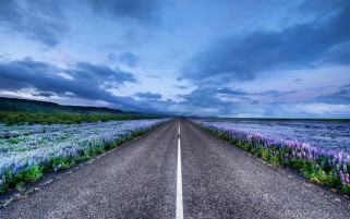 Purple Lupine Fields & Road wallpapers and stock photos