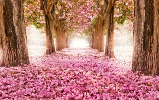 Park Road Sakura Alley wallpapers and stock photos