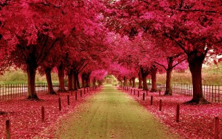 Pink Trees & Walk Way wallpapers and stock photos