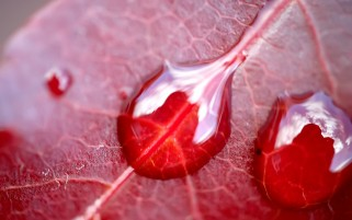 Water Drops on Red Leaf wallpapers and stock photos