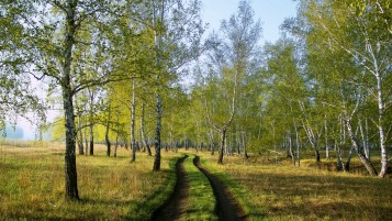 Birches Dirty Road Grass wallpapers and stock photos