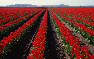 Red Tulips Field wallpapers and stock photos