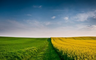 Grass Path Rape Fields wallpapers and stock photos