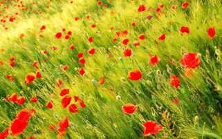 Lovely Poppies Field Close Up wallpapers and stock photos