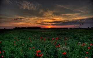 Poppies Plants Field Sunset wallpapers and stock photos