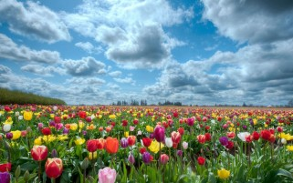 Random: Colorful Tulips Field & Clouds