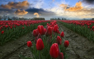 Red Tulips Fields Close Up wallpapers and stock photos
