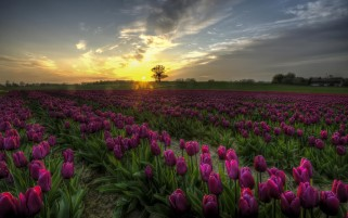 Amazing Tulips Field Purple wallpapers and stock photos