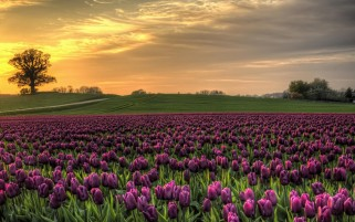 Purple Tulips Field wallpapers and stock photos
