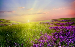 Lavender Field Sunlight & Sky wallpapers and stock photos