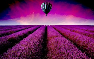 Lavender Field Hot Air Balloon wallpapers and stock photos