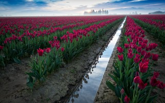 Random: Red Tulips Field Ditch & Water