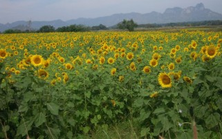 Random: Sun Flowers Mountains Trees