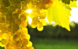 Golden Grapes wallpapers and stock photos
