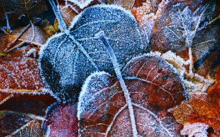 Frosted Leaves wallpapers and stock photos
