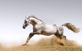 Wild White Horse wallpapers and stock photos
