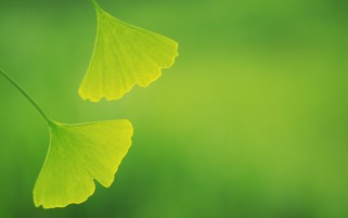 Ginkgo Leaves wallpapers and stock photos