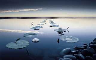 Beautiful Lily Pad In A Row wallpapers and stock photos