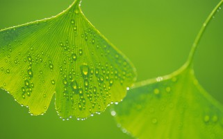 Ginkgo Leaves Macro wallpapers and stock photos
