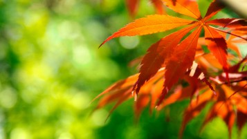 Orange Japanese Maple Leaves wallpapers and stock photos