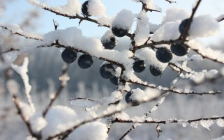 Frozen Blueberries wallpapers and stock photos