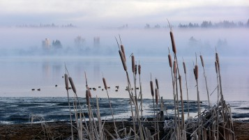 Frosted Cattails wallpapers and stock photos