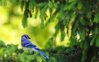 American Blue Jay wallpapers and stock photos