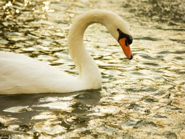 Swan wallpapers and stock photos