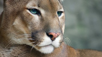 Cougar wallpapers and stock photos