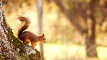 Squirrel in the Autumn wallpapers and stock photos