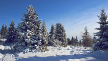 Snowed Fir wallpapers and stock photos