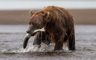 Brown Bear With Fish wallpapers and stock photos