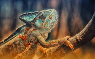 Chameleon Reptile Branch wallpapers and stock photos
