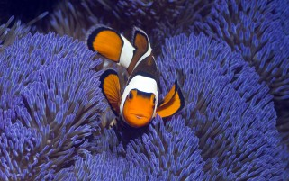 Clownfisch West Papua I wallpapers and stock photos